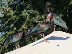 79_ibis